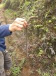 5. Kebun teh yang subur berefek pada cacingnya yang subur juga. The Giant Cacing