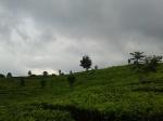 7. Landscape kebun teh. Coba... kalo sampingnya ada kebun gula. heheh..
